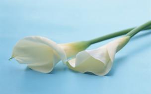 цветы, каллы, пара, белые