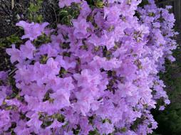 цветы, рододендроны , азалии, лиловый