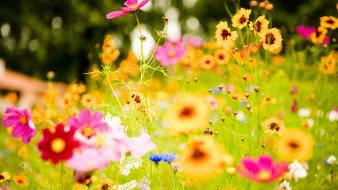 цветы, космея, космеи, трава, луг