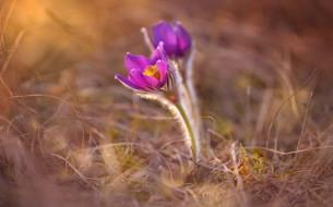 цветы, анемоны,  сон-трава, сон-трава