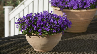 цветы, колокольчики, лиловый