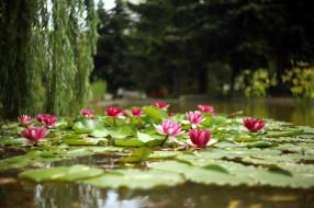 цветы, лилии водяные,  нимфеи,  кувшинки, пруд, лилии