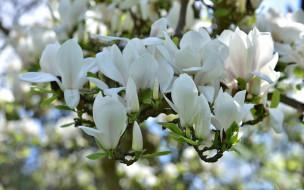 цветы, магнолии, белая, магнолия, бутоны