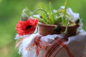 цветы, маки, горшок, мак, бутоны, алый
