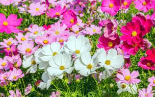 цветы, космея, разноцветная