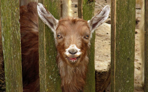 животные, козы, козел, рыжий, забор