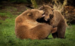 животные, медведи, два, бурый, гризли, кодьяк, животное, хищник, млекопитающее, хордовые