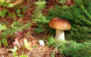 природа, грибы, сосновые, ветки, боровик