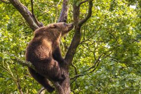 обои для рабочего стола 1920x1280 животные, медведи, медведь, бурый, гризли, кодьяк, животное, хищник, млекопитающее, хордовые