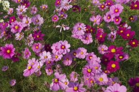 обои для рабочего стола 1920x1275 цветы, космея, розовая