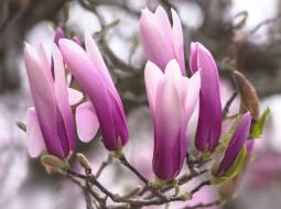 обои для рабочего стола 2000x1496 цветы, магнолии, розовая, магнолия, бутоны
