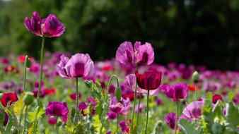 цветы, маки, луг