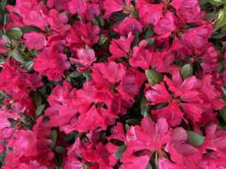цветы, рододендроны , азалии, красный