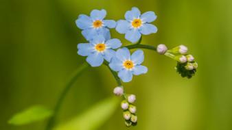цветы, незабудки, ветка, голубые