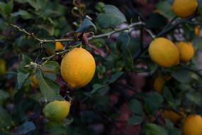 природа, плоды, лимон
