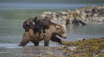 животные, медведи, медведица, медвежата, медведь, бурый, гризли, кодьяк, животное, хищник, млекопитающее, хордовые