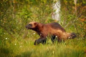 росомаха, животные, росомахи, животное, хищник, млекопитающее, куньи, опасное, мех, когти