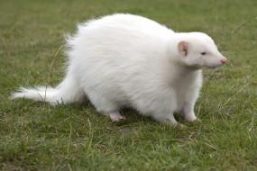 росомаха альбинос, животные, росомахи, росомаха, альбинос, белая, аномалия, животное, хищник, млекопитающее, куньи, опасное, мех, когти