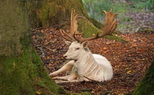 олень альбинос, животные, олени, олень, альбинос, китопарнокопытные, рога, белый, аномалия, оленевые, млекопитающие
