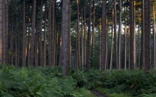 природа, лес, сосны, папоротник