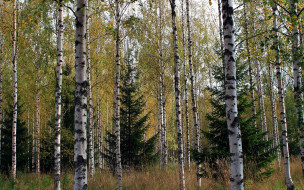 природа, лес, березы, елки