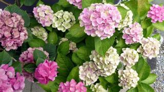 цветы, гортензия, белая, розовая