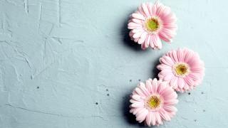 розовые, герберы