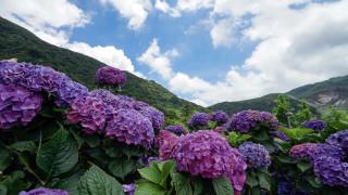 обои для рабочего стола 1920x1080 цветы, гортензия, холмы, лиловая