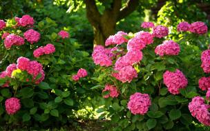 обои для рабочего стола 1920x1200 цветы, гортензия, розовая
