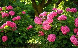 цветы, гортензия, розовая