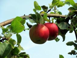 обои для рабочего стола 2560x1920 природа, плоды, яблоки