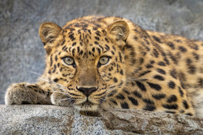 животные, леопарды, леопард