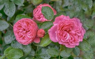 цветы, розы, куст, розовые, капли
