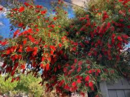 цветы, каллистемон, куст