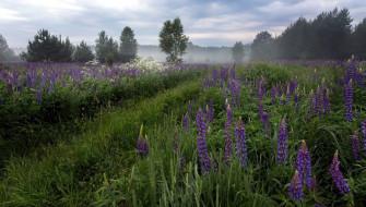 цветы, люпин, трава, туман