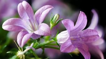 цветы, колокольчики, макро