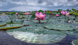 цветы, лотосы, вода, листья