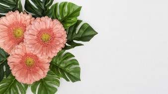 розовые, герберы, листья