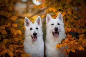 животные, собаки, белая, швейцарская, овчарка