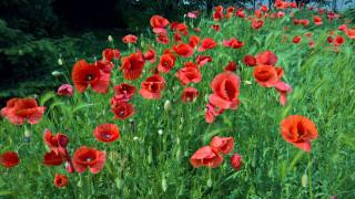 цветы, маки, алые, трава