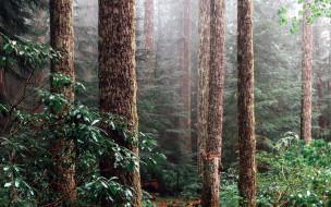 природа, лес, сосны, стволы, туман