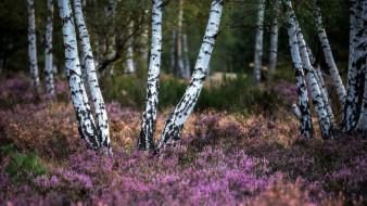 природа, лес, березы, вереск