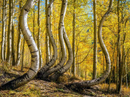 curved aspens, colorado, природа, деревья, curved, aspens