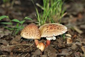 природа, грибы, поганки