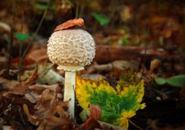 природа, грибы, осень, гриб, листья