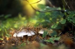 природа, грибы, еловая, ветка, гриб, трава