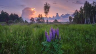 луг, закат, люпин, трава