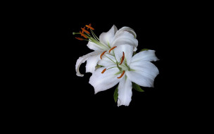 лилии, белые