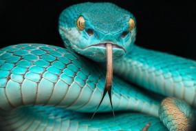 куфия, животные, змеи,  питоны,  кобры, змея, пресмыкающиеся, чешуйчатые, хордовые