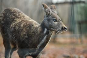 кабарга, животные, - другое, musk, deer, кабарги, кабарговые, китопарнокопытные, млекопитающие, клыки